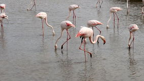 Group of dabblingg flamingos, Camargue, France stock video