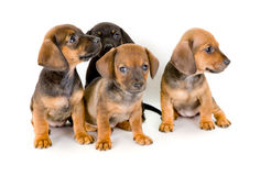 Group of dachshund puppies Royalty Free Stock Photography