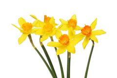 Group of daffodil flowers. Group of bright yellow and orange daffodils isolated against white stock photography