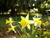 Some daffodil in the forest. Group of 5 daffodils in the forest Stock Images