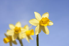 Group of daffodils on a summers spring Stock Photos