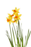 Group of daffodils Stock Photography