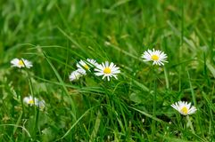 A group of daisies Stock Photography