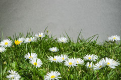 Group of daisies. Bellis perennis or commom daisies Royalty Free Stock Photo
