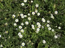 A group of daisies on the grass stock photos