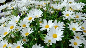 A group of daisies, sway gently in the breeze. Insects and bees buzz by stock video