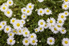 Group of daisies Royalty Free Stock Photos