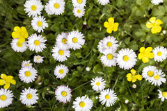 Group of daisies Royalty Free Stock Photography