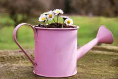 A group of daisy plants in a pink watering can. Flourishing Royalty Free Stock Images
