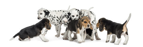 Group of Dalmatian and Beagle puppies eating all together. Isolated on white royalty free stock photos
