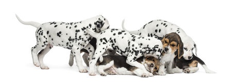 Group of Dalmatian and Beagle puppies eating all together. Isolated on white stock images