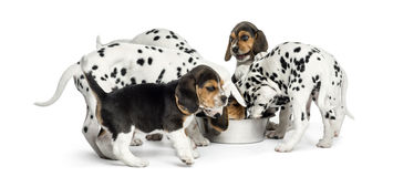 Group of Dalmatian and Beagle puppies eating all together. Isolated on white stock photos