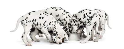 Group of Dalmatian puppies eating all together, isolated. On white royalty free stock photos