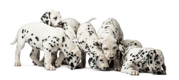 Group of Dalmatian puppies eating. In front of a white background royalty free stock photography