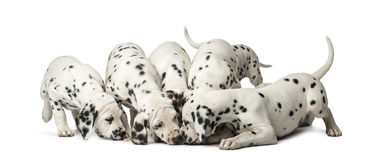 Group of Dalmatian puppies eating. In front of a white background royalty free stock photos