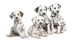 Group of Dalmatian puppies sitting, isolated. On white Royalty Free Stock Images