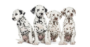 Group of Dalmatian puppies sitting, isolated. On white stock photo