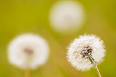 Group of dandelion Royalty Free Stock Images