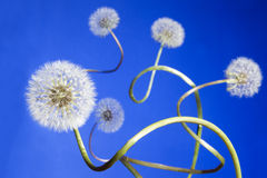 Group of dandelions. Group of curly dandelions on blue sky background Stock Photo