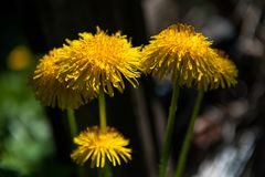 Group of dandelions in garden in dark atmosphere stock images