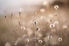 Group of dandelions Royalty Free Stock Photography