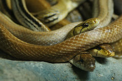 Group of danger snakes Royalty Free Stock Images