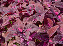 Group of  dard violet  coleus in garden Royalty Free Stock Image