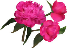 Group of dark pink peony flowers isolated on white Stock Photos