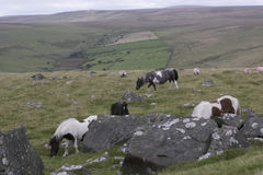 Group of Dartmoor ponies. Close to granite rocks grazing stock photo