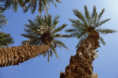 Group of date palms against blue sky. Group of date palms (Phoenix dactylifera) against blue sky in the Sahara desert of Morocco Royalty Free Stock Images