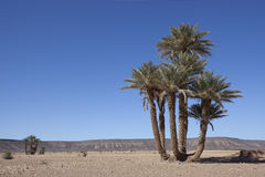 Group of date palms (Phoenix dactylifera). Group of date palms (Phoenix dactylifera) in the Sahara desert Royalty Free Stock Photo