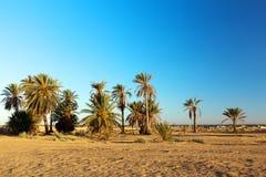 Group of date palms in sandy desert. Of Sahara Tunisia Stock Photo