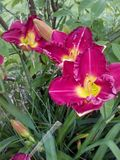 A group of daylilies. A group of 3 red daylillies flowers shine Stock Photos