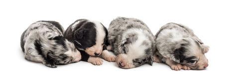 Group of 21 day old crossbreed puppies sleeping together Royalty Free Stock Photography
