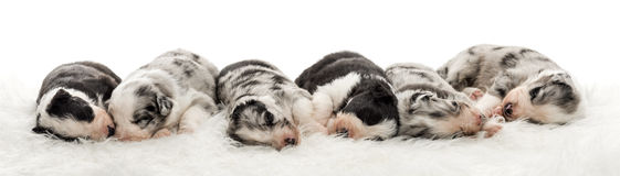 Group of 21 day old crossbreed puppies sleeping together Stock Photos
