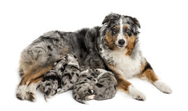 Group of 21 day old crossbreed puppies suckling from mother Royalty Free Stock Image