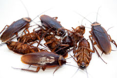 Group dead cockroach isolate on white background Stock Images
