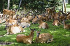 A Group of Deer Stock Image