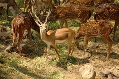 Group of Deer Stock Images