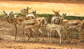 A group of deer Stock Photography