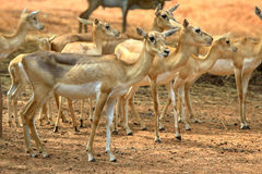 A group of deer Royalty Free Stock Image