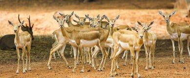 Group of deer Stock Image