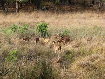 Group of Deer. Photo of a group of deer in bandhavgarh national park, india Royalty Free Stock Photography