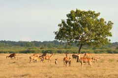 Group of deer in the Baluran National Park located in East Java, Stock Photography