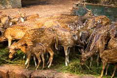 group of deer is eating green grass and looking around.These are chital / cheetal deers from india royalty free stock photo