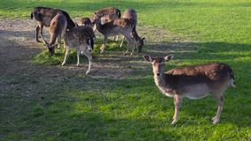 Group of deer family grazing eating feeding green grass. Group of deer herd family grazing eating feeding green grass meadow stock video footage