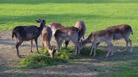 Group of deer family grazing eating feeding green grass. Group of deer herd family grazing eating feeding green grass meadow stock video