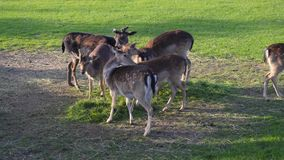 Group of deer family grazing eating feeding green grass. Group of deer herd family grazing eating feeding green grass meadow stock footage