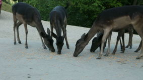 Group of deer feeding in front of an inn. Deer without any fear feeding with corn on street in front of pub stock footage