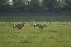 Group deer flee Royalty Free Stock Photos